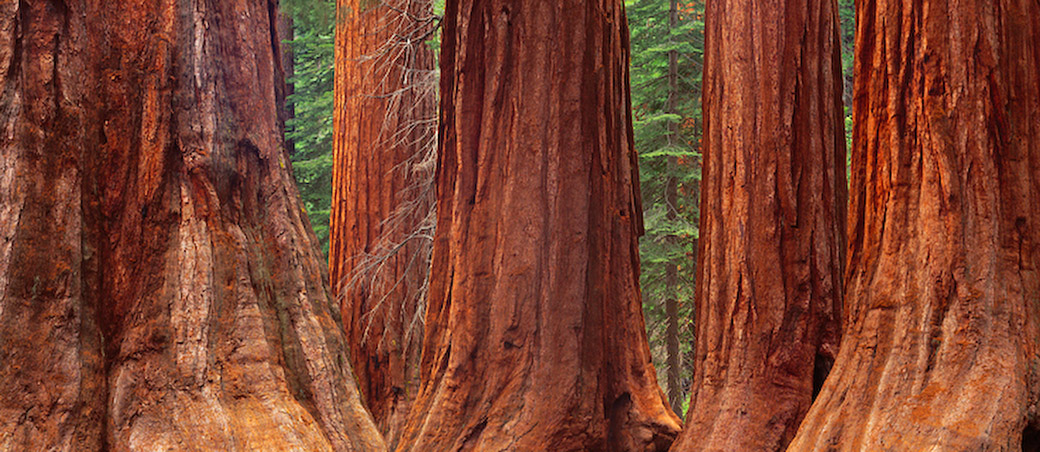 Giant_Sequoia_trees_lg