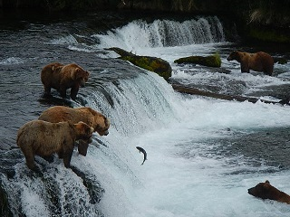 grizzlies fishing 320